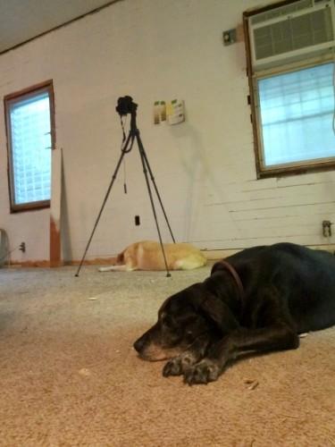 dining-room-floor-carpet-dogs